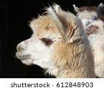 Blonde Alpaca   Photograph Of ...