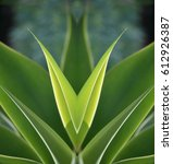 Small photo of Agave attenuata, a native, tropical, ornamental plant with symmetrical, backlit, green, spineless leaves on a natural background texture.