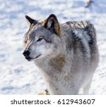 the gray wolf or grey wolf also ... | Shutterstock . vector #612943607