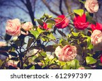 Stock photo rose in the garden floral background 612997397