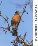 Small photo of The American robin (Turdus migratorius) is a migratory songbird, Ames, Iowa