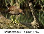Common Moorhen  Gallinul...