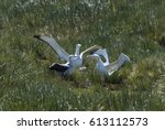 Small photo of Wandering Albatrosses on the nest