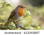 robin  erithacus rubecula ... | Shutterstock . vector #613343807