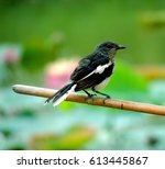 Small photo of The magpie-robins or shamas (from shama, Bengali and Hindi for C. malabaricus are medium sized insectivorous birds (some also eat berries and other fruit) in the genus Copsychus.