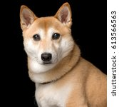 shiba inu   Shutterstock . vector #613566563