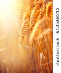 wheat field. ears of golden... | Shutterstock . vector #613568213
