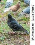 Beautiful Pigeon Bird Walking...