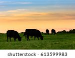 Black Angus Cows Grazing In...