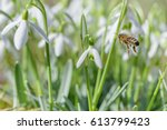 Flying Bee To Snowdrop Flower....