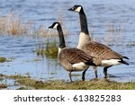 pair of canadian geese  branta... | Shutterstock . vector #613825283