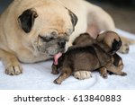 pug dog lying to cleaning new... | Shutterstock . vector #613840883