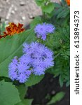 Small photo of Ageratum Mexican. Ageratum houstonianum. Ageratum houstonianum. Blue fluffy flower. Garden plants. Close-up