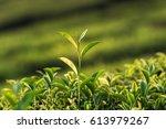 green tea bud and fresh leaves. ... | Shutterstock . vector #613979267