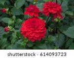 Red Dahlia Flower  Closeup...