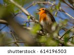 beautifull small bird robin... | Shutterstock . vector #614196503