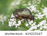 Cetonia Aurata Or Rose Chafer...