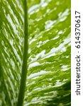 Small photo of Close up evergreen houseplant(Aglaonema Lady Valentine)