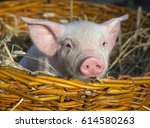 Pig In A Basket With Hay