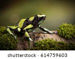 tropical poison dart frog from...   Shutterstock . vector #614759603
