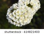 cherry tree in flower | Shutterstock . vector #614821403