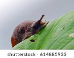 Round Back Slug Munching Leaf