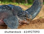 a big turtle trying to swim on... | Shutterstock . vector #614927093