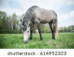 Grey Horse Grazing Grass In A...