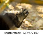 Living Lemurs In A Cage. Zoo I...