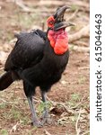 Small photo of The southern ground hornbill