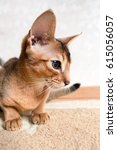Small photo of Beautiful Abyssinian cat
