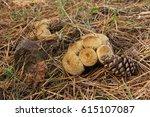 Mushrooms Lycoperdon Perlatum...