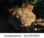 Small photo of Lion Kill