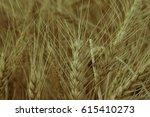 golden ears of wheat close up... | Shutterstock . vector #615410273