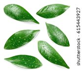 citrus leaves with drops... | Shutterstock . vector #615443927