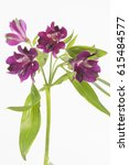 Small photo of Alstroemeria Carline