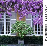 Wisteria Sinensis And Quince I...