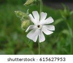 Silene Latifolia  White Campio...
