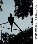 Small photo of Great Green Macaw (Ara ambiguous) silhouette