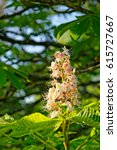 Small photo of Close up of inflorescence of white blooming Horse chestnut Aesculus hippocastanum