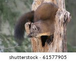 Small photo of American marten in the Montana Rockies