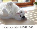 Stock photo white og black cat breed turkish van vankedisi or turkish angora 615821843