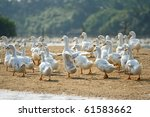 duck in farm | Shutterstock . vector #61583662