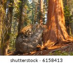 Sequoia Growing Next To And...