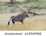 Big Antelope  Gemsbok  Oryx...