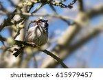 house sparrow male  passer... | Shutterstock . vector #615979457