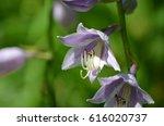 Blooming Hosta Plant Flowering...
