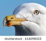 the european herring gull is a...   Shutterstock . vector #616098323