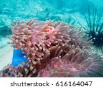 Clownfish Live In Soft Coral A...