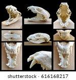 european badger skull  meles... | Shutterstock . vector #616168217